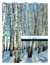 Birch Tree, The